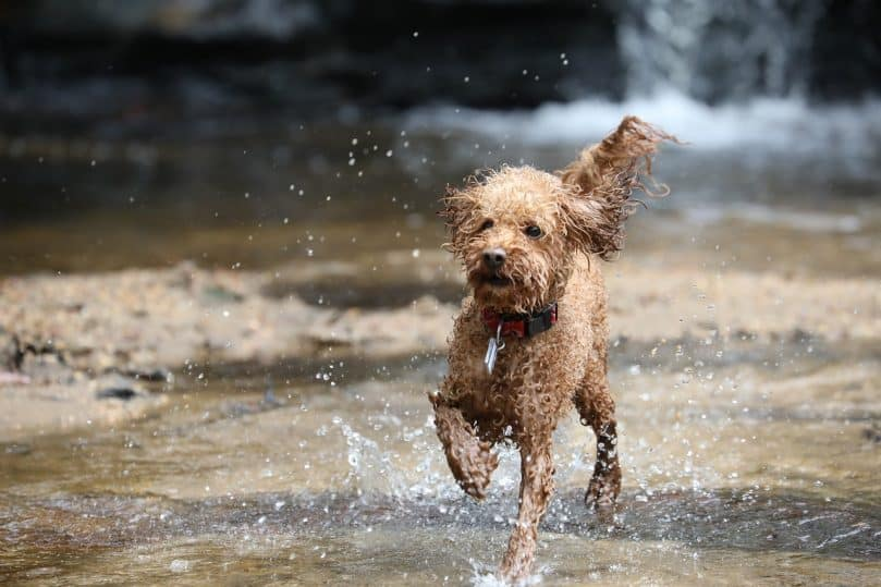 A Poodle splashing in a stream