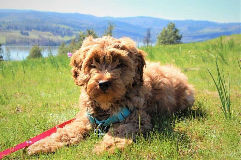Australian Labradoodle laying in grass