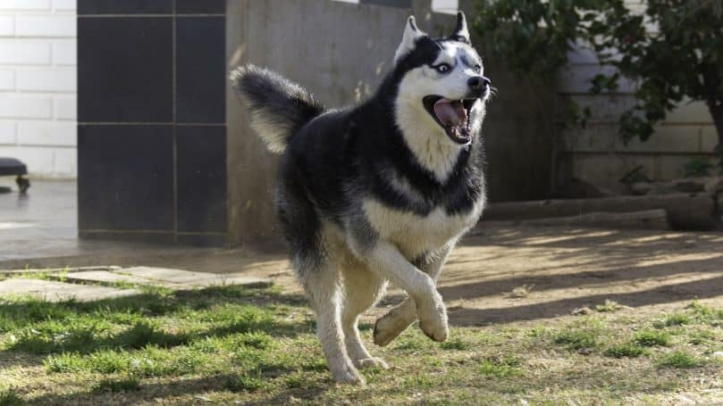 Siberian Husky running outside