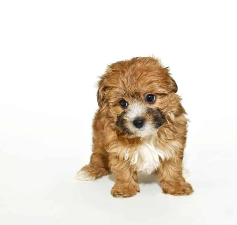 Very cute yorkie-Poo puppy on a white background