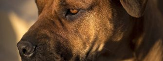 Close up of Boerboel