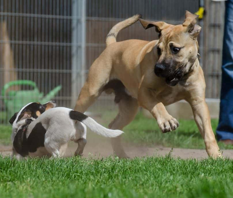 Boerboel playing with a dog
