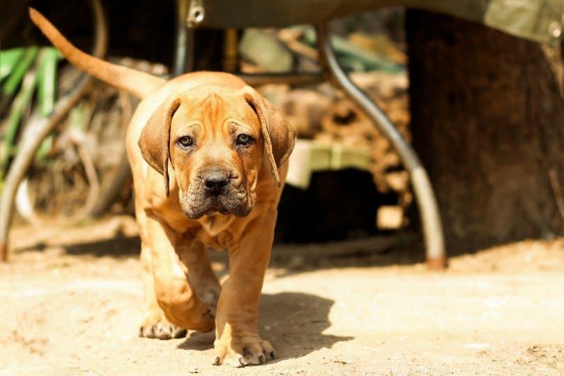 Boerboel puppy walking towards camera