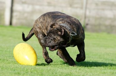 Canary Mastiff playing with a toy