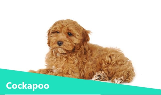 Cocker Spaniel Poodle Mix also known as Cockapoo