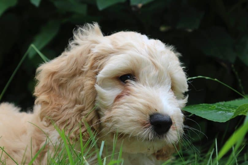 Cockapoo in the grass