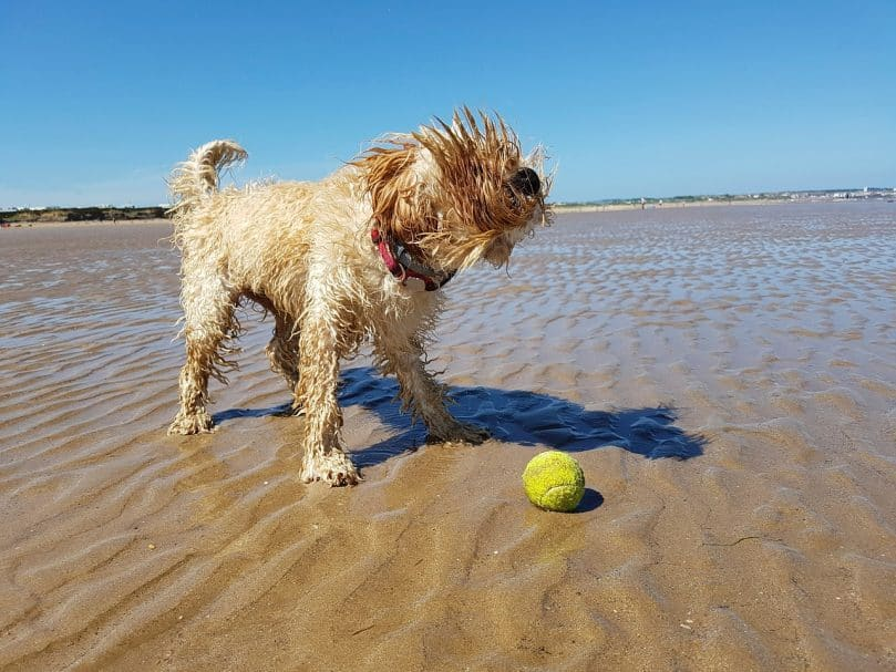 Cockapoo playing on beach