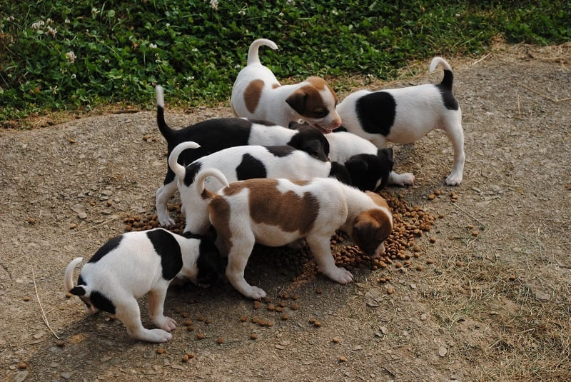 Feist puppies eating a meal
