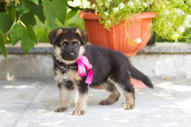 Female german shepherd puppy with pink bow