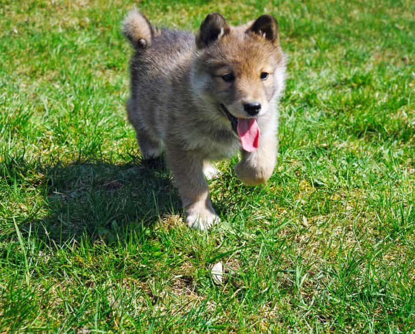 German Shepherd Puppy Running Outside