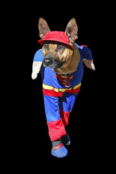 German Shepherd in Hero Costume
