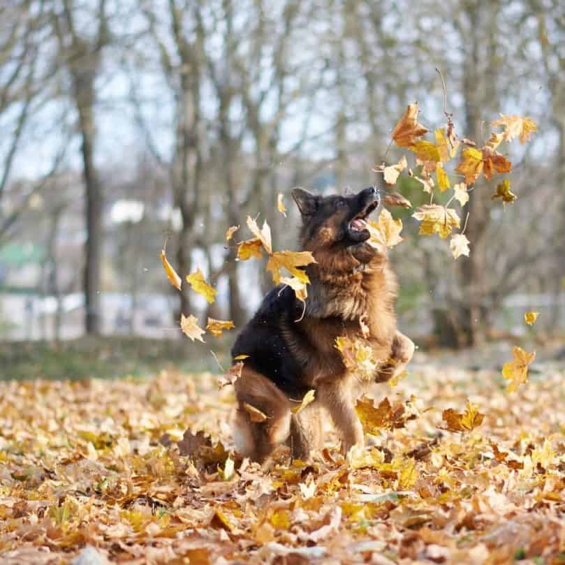 German shepherd dog playing in leaves in fall