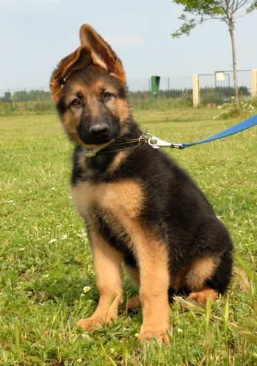 German Shepherd puppy in training on leash