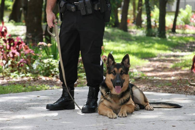 German Shepherd Service Dog with Police Officer