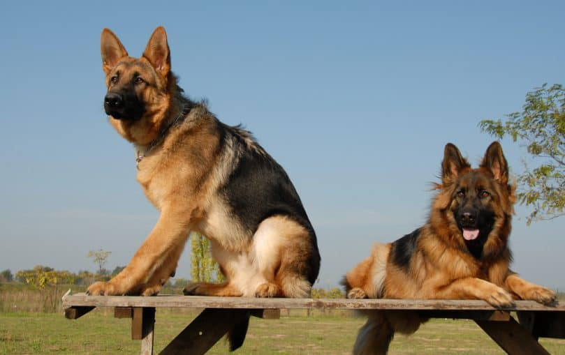 two german shepherd service dogs on a table