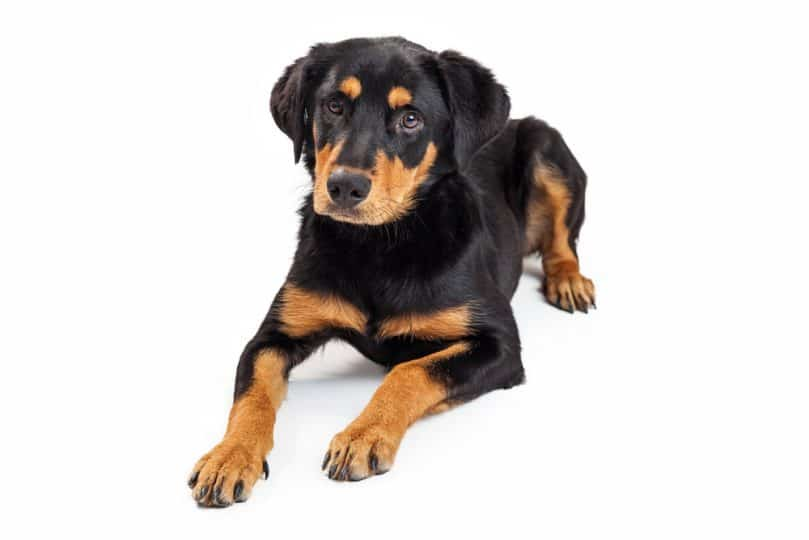 Cute Rottweiler and Labrador mixed breed puppy laying down on a white background