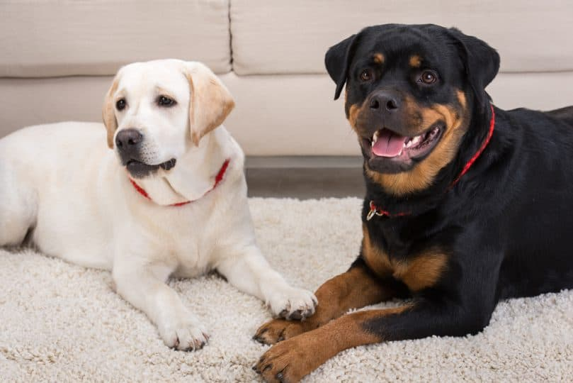 White labrador and black rottweiler are lying on the floor.