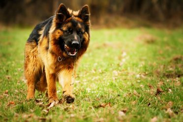 long haired german shepherd dog running