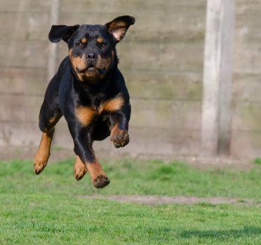 Rottweiler running on the grass