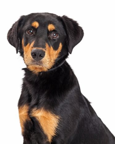 Portrait of a cute Rottweiler and Labrador Retriever mixed breed eight month old puppy dog