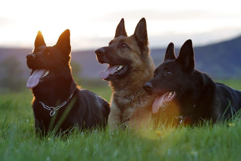 Three German Shepherds relaxing together