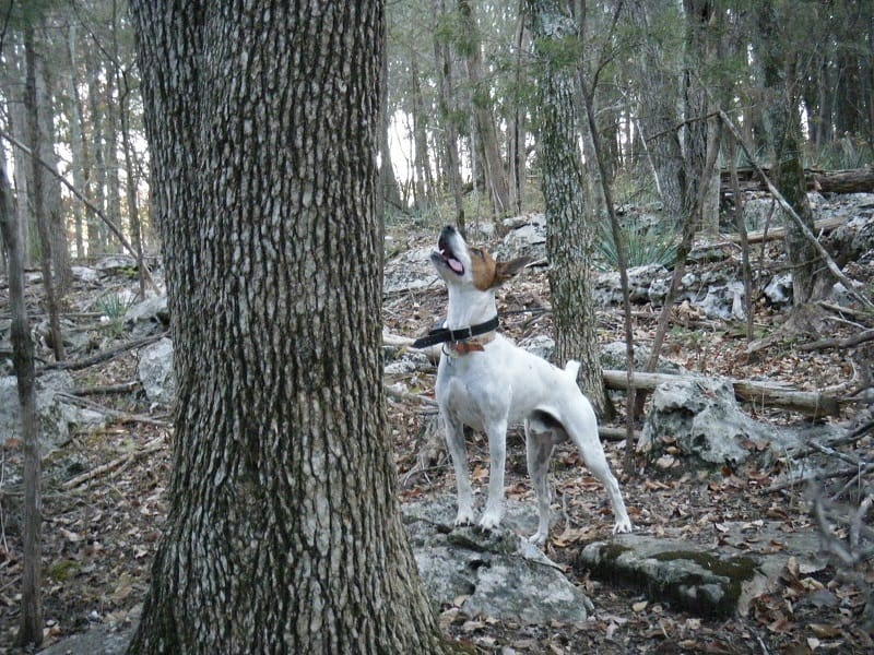 A Feist dog barks up a tree