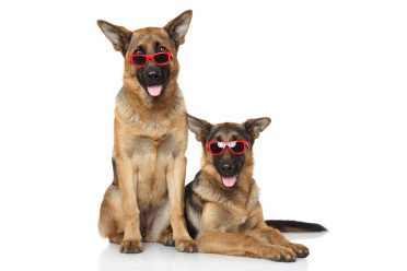 two young german shepherds wearing glasses