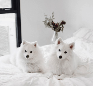 japanese_spitz_two