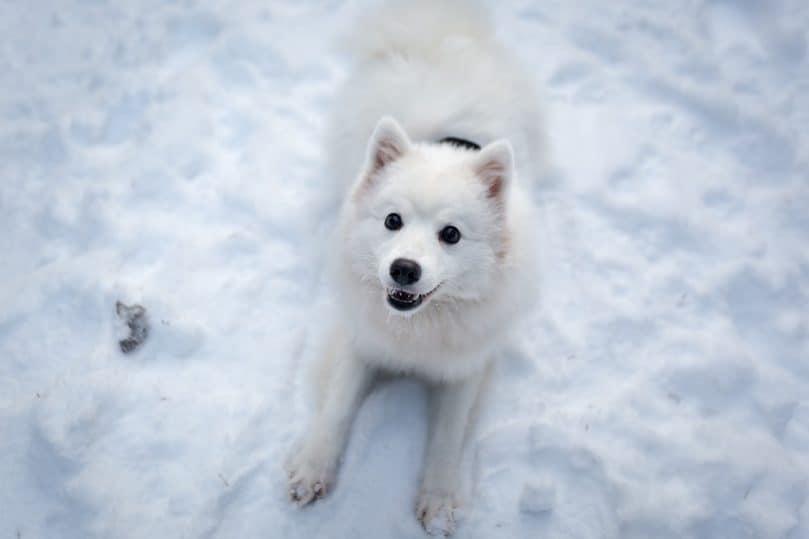 japanese_spitz_winter