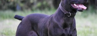The Canis Panther Is Four Great Dogs In One