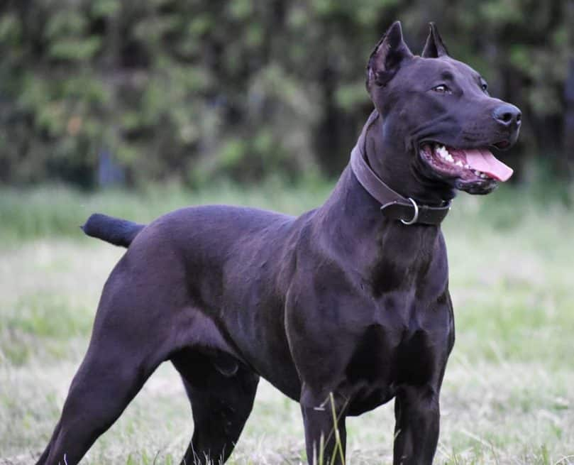Black Canis Panther outdoors