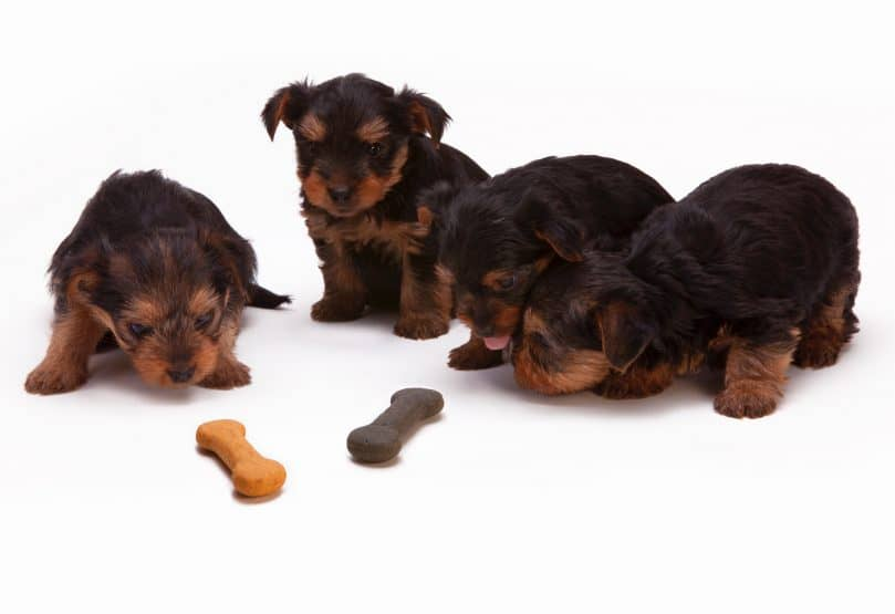 Chihuahua Terrier Mix puppies with bone
