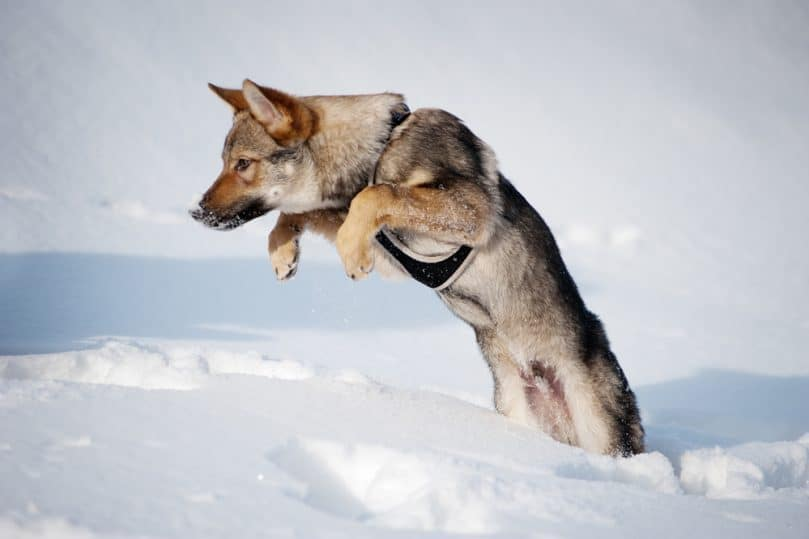 Czechoslovakian Wolfdog jumping over the snow
