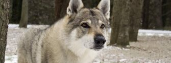 Portrait of a Czechoslovakian Wolfdog snow and trees in the background