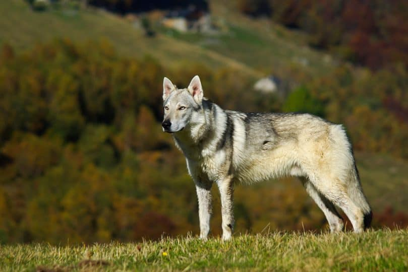 Czechoslovakian wolfdog in mountain