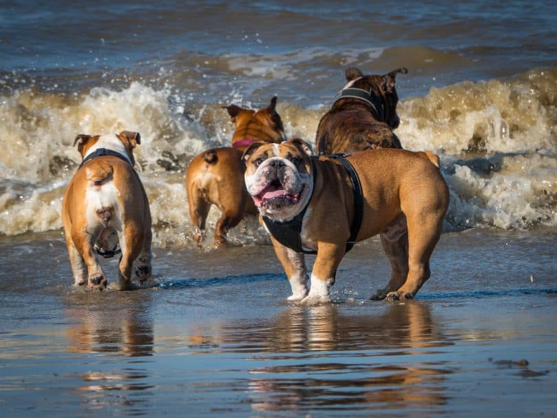 Standard English Bulldogs playing on the beach