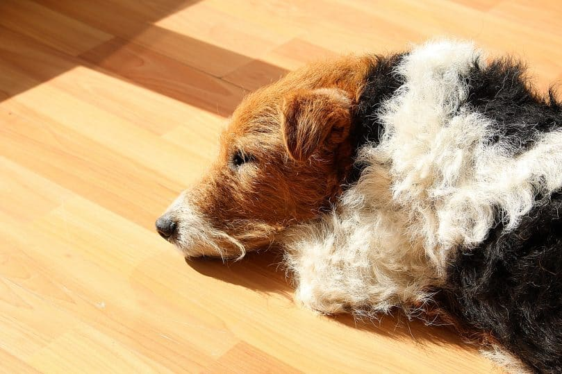Fox Terrier laying in the sunshine