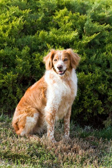 French Brittany Spaniel outdoors portrait