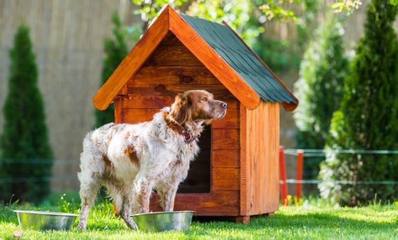 French Brittany dog outside near kennek