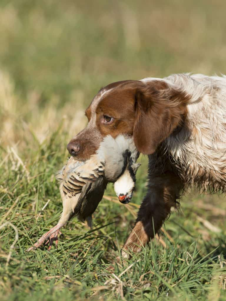 Meet The French Brittany The Ultimate Hunting Dog Animalso