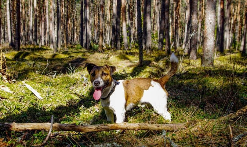 Jack Russell Terrier playing in the woods