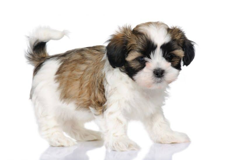 The Adorable Maltese Shih Tzu (AKA MalShi) Is About To Win You Over