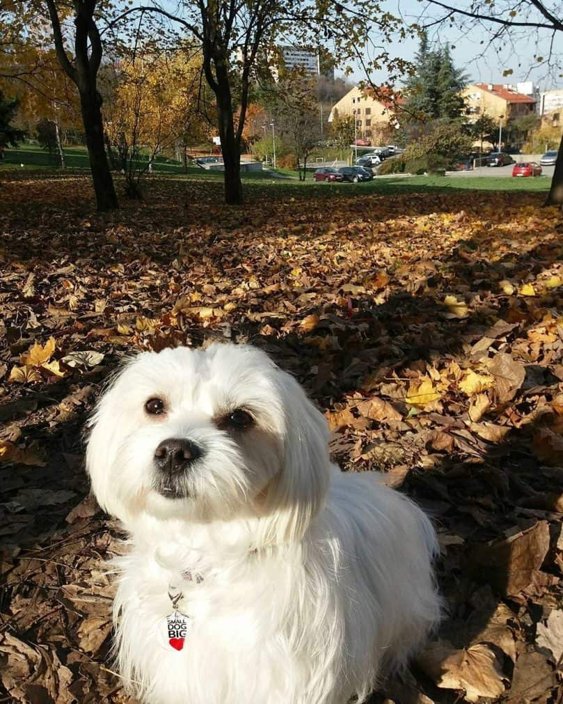 The Adorable Maltese Shih Tzu Aka Malshi Is About To Win You Over