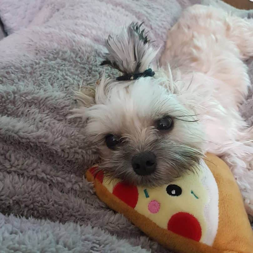 Maltese Shih Tzu with chew toy in bed