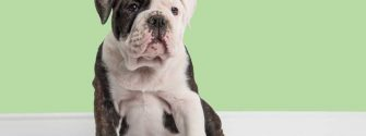 Mini english bulldog in a living room setting with a mint green wall background