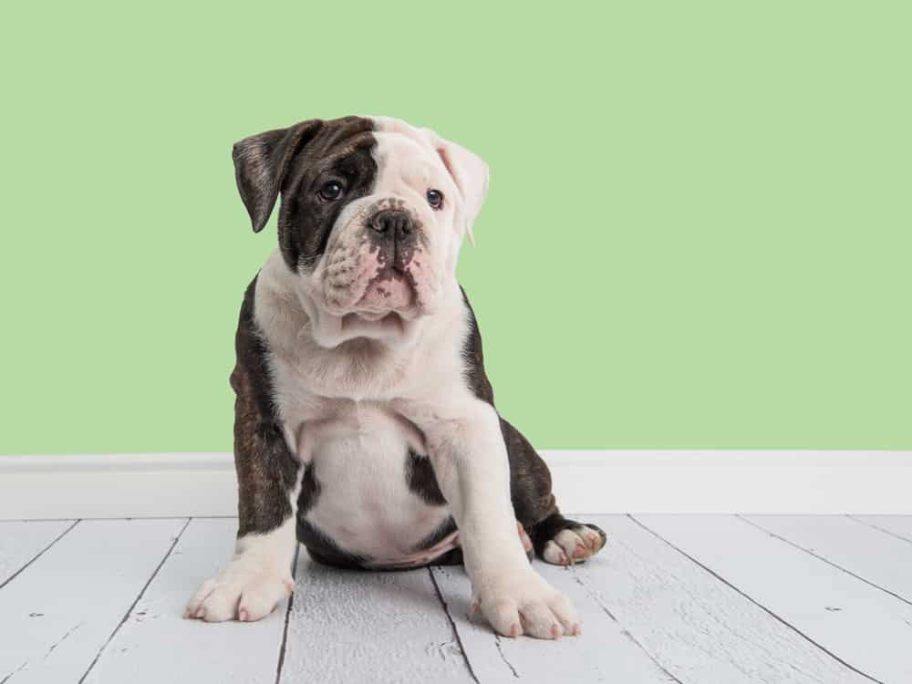 The Miniature English Bulldog: Here's Everything You Want To Know