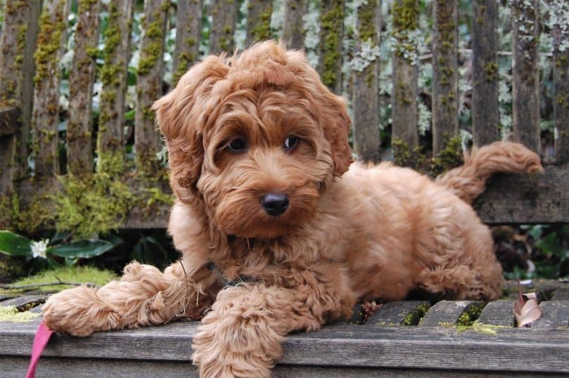 Mini Labradoodle laying on a bench