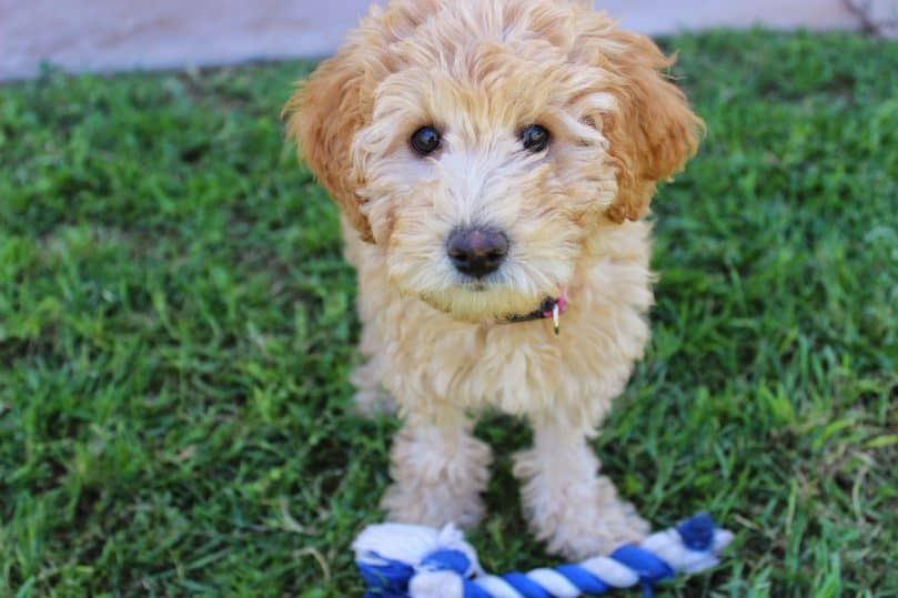 Mini Labradoodle on the grass
