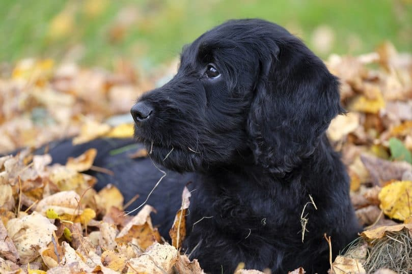 Mini Labradoodle in the leaves