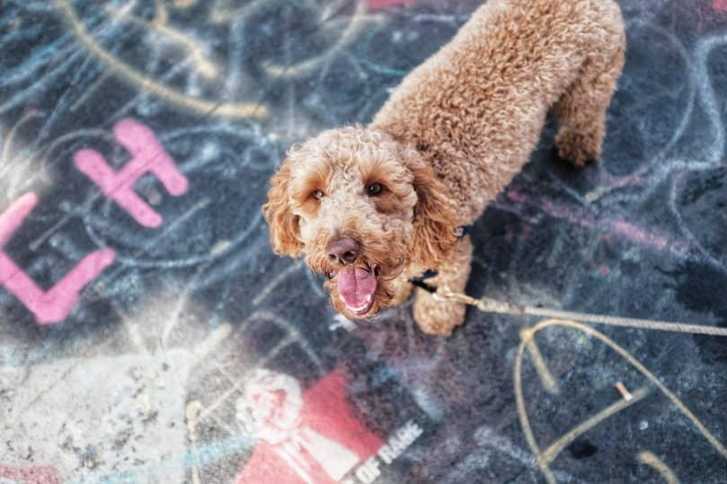 Mini Labradoodle on the sidewalk